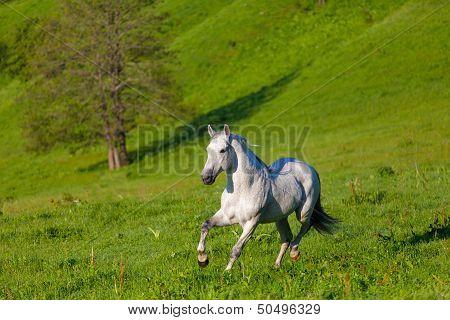 Gray Arab horse gallops on a green meadow