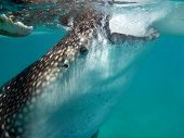 stock photo of cebu  - Whaleshark close up in Oslob, Cebu, Philippines