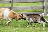 stock photo of baby goat  - young goats fighting with their heads at an animal farm - JPG