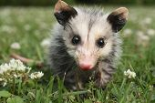 picture of possum  - Photo of a baby possum in clover and grass - JPG