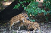 stock photo of razorback  - Playing young wild pigs - JPG