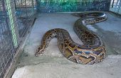 picture of python  - Close up of big Tiger Reticulated Python - JPG