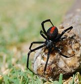stock photo of red back  - Australian deadly poisonous red back spider female also known as Black Widow Latrodectus hasselti - JPG
