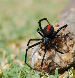picture of black widow spider  - Australian deadly poisonous red back spider female also known as Black Widow Latrodectus hasselti - JPG