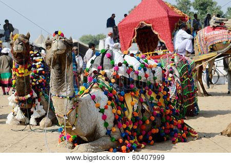 Beautiful Dromedary Camels Taking Part At Famous Cattle Fair,India