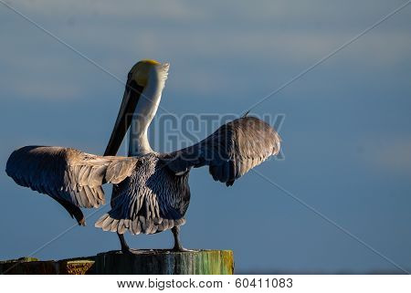 Pelican Flapping its Wings