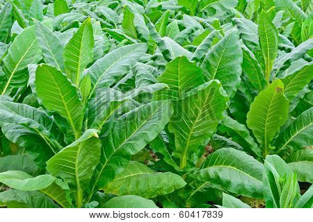 Green Tobacco Field In Thailand In Summer