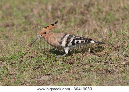 Common Hoepoe Bird (upupa Epops) Eating