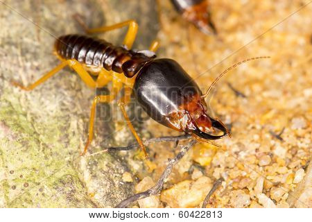 Termites Soldier