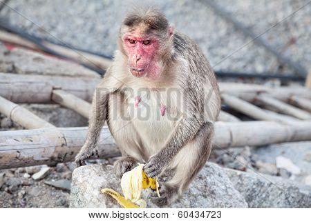 Monkey In Hampi