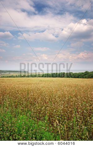 Campo de trigo mourisco