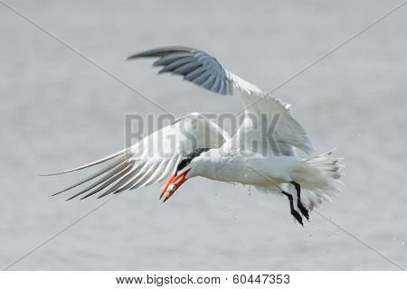A Dripping Wet Caspian Tern In Flight With A Fish