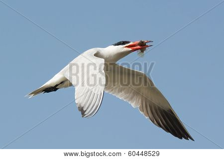 Caspian Tern Flying Overhead With A Fish