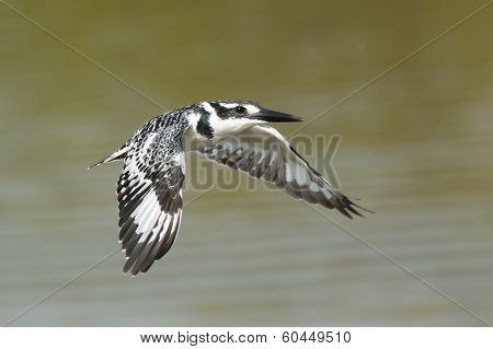 Female Pied Kingfisher (ceryle Rudis) In Flight