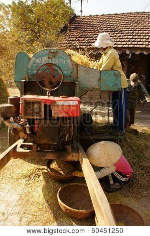 Farmer Harvesting Paddy Grain By Threshing Machine
