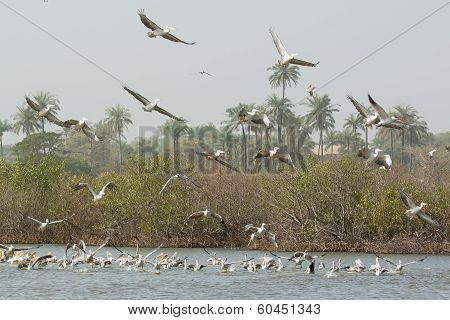 Squadron Of Pink-backed And Great White Pelicans In The Mangroves