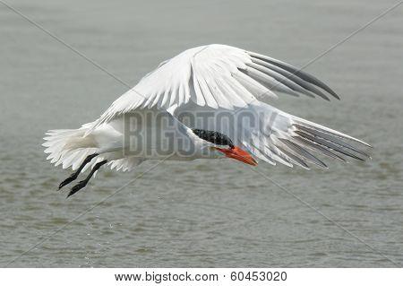 Wet Caspian Tern In Flight Dripping Wet