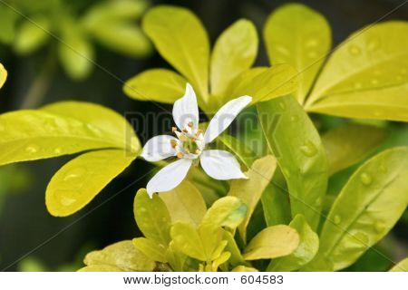 Flower On A Choisya Bush