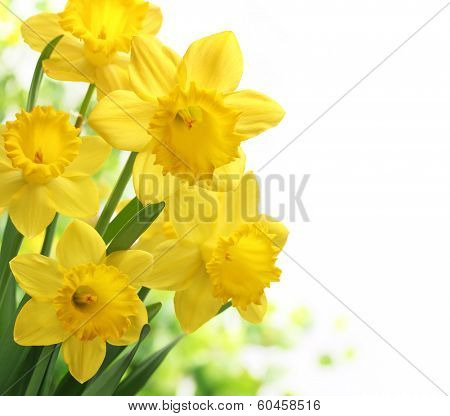 Bouquet of daffodil flower on white background