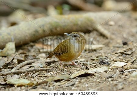 Abbott's Babbler (trichastoma Abbotti)
