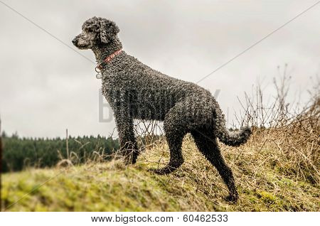 Black Poodle Looking Out Across Fields