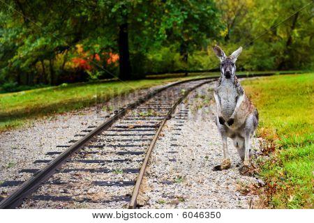 Kangaroo At The Railroad Racks