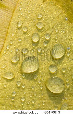 Dew Drops On Gingko Biloba Tree Leaf
