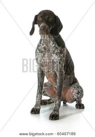 german shorthaired pointer looking at viewer isolated on white background- female
