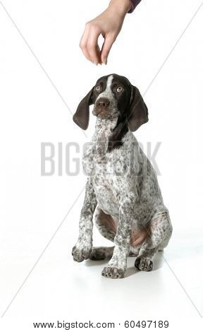 dog begging - german shorthaired pointer begging for a treat isolated on white background