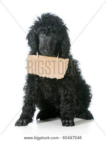 dog with a message - standard poodle wearing cardboard sign around neck looking at viewer isolated on white background