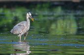 picture of bluegill  - Great Blue Heron fishing in the low lake waters - JPG