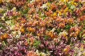 stock photo of karnataka  - Bed of flowers of various colors at Flower Show in Lalbagh Bangalore Karnataka India Asia - JPG