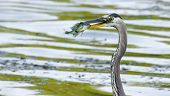 foto of bluegill  - Bluegill gets Caught by a Great Blue Heron - JPG
