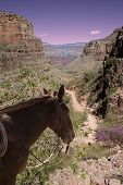 stock photo of mule  - The Grand Canyon with a mule guide looking off into the scenery - JPG