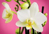 stock photo of yellow buds  - Beautiful light yellow orchid flowers with buds on a pink background - JPG