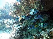 foto of damselfish  - A school of sergeant major damselfish under a coral ledge - JPG
