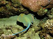 image of stingray  - Blue spotted ribbontail stingray  - JPG