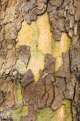 Plane Tree Bark Close Up