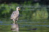 picture of bluegill  - Great Blue Heron fishing in the low lake waters.