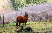 picture of great horse  - Brown horse grazing in the field of the Altesina mountain - JPG
