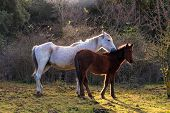 picture of great horse  - Two horses grazing in the field of the Altesina mountain