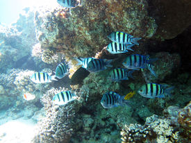 pic of sergeant major  - A school of sergeant major damselfish under a coral ledge - JPG