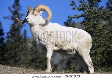 Mountain Goat near forest