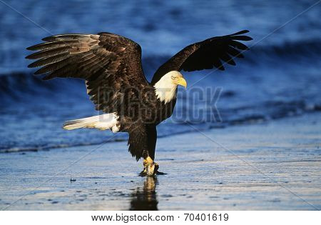 Bald Eagle catching fish in river