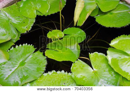 Lotus Leaves  In Water