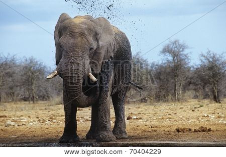 African Elephant (Loxodonta Africana) squirting mud on savannah