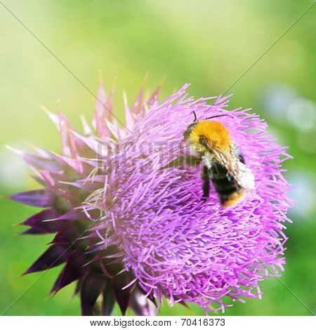 Bumblebee sitting on a flower of the thistle.