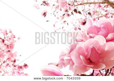 Spring Magnolia Tree In Bloom
