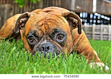 pure bred boxer dog portrait close-up on natural background