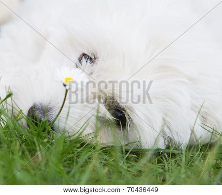 Portrait: Head Of An Original Coton De Tuléar Dog Like A Maltese.